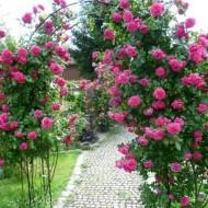 Плетистая роза лагуна описание и характеристики сорта выращивание и размножение