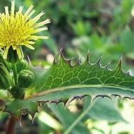 Растение осот полевой