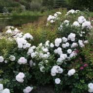 Роза Аспирин: описание сорта, выращивание, уход и размножение, отзывы с фото