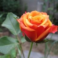 Как вырастить эффектную розу Черри Бренди: секреты посадки и ухода