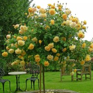 Розы остина голден селебрейшен