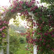 Клематис крупноцветковый капер виль де лион