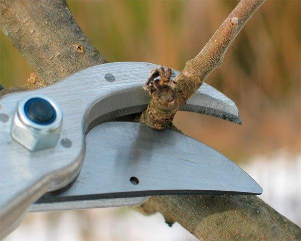 Обрезка карликовых яблонь фото