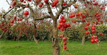правильная обрезка яблони фото