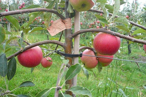 Карликовая яблоня после прореживания фото