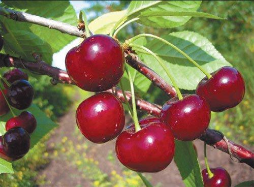 Апухтинская вишня - плоды фото