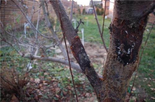 Лечение на дереве бактериальный рак