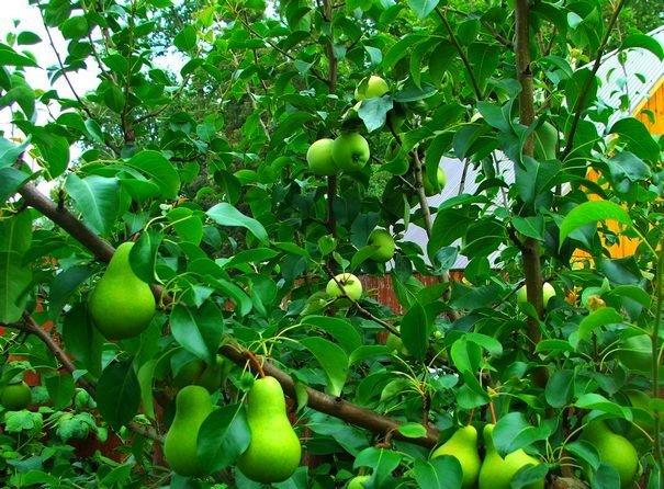 Груша, привитая к яблоне фото