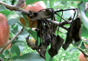 Ожог листьев яблони фото