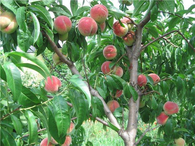 Персиковые деревья фото