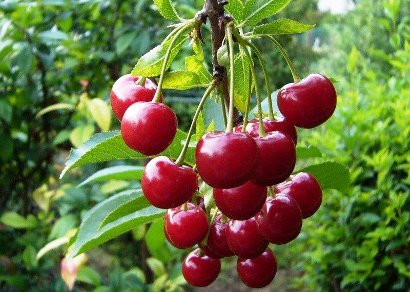 Плоды вишни молодежной фото