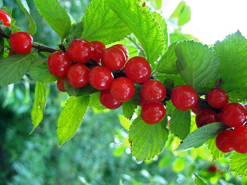 Плоды войлочной вишни фото
