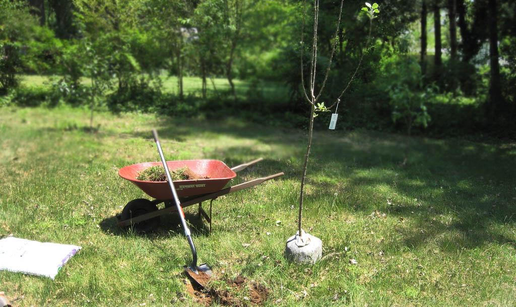Как подготовить яму для посадки яблони на даче