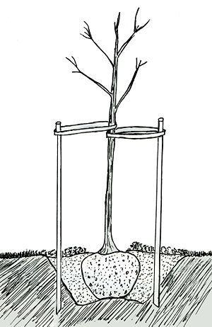 Посадка пересаженной яблони фото