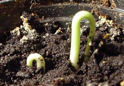 Прорастание косточек вишни фото