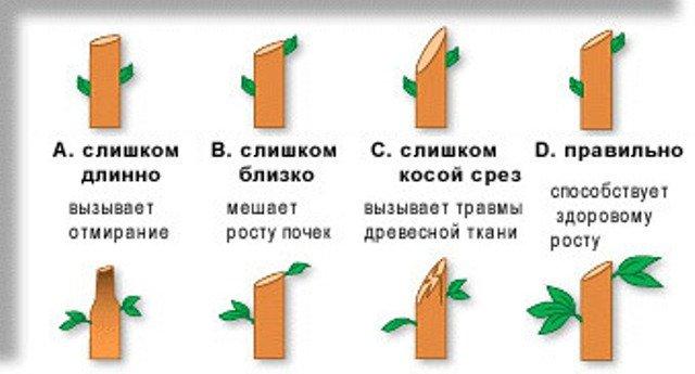 Схема правильной обрезки ветвей фото