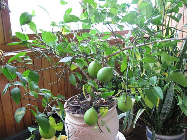 Правильная обрезка лимона в домашних условиях