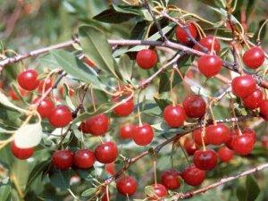 Степная вишня плоды