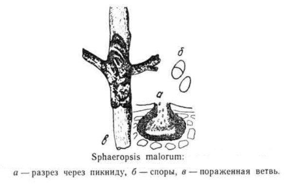 Вид грибка Sphaeropsis malorum фото