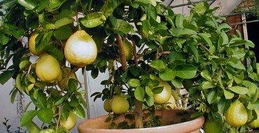 лимон Пандероза фото