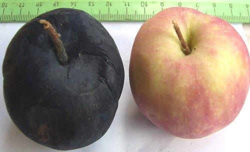 Здоровое яблоко и плод, пораженный черным раком фото