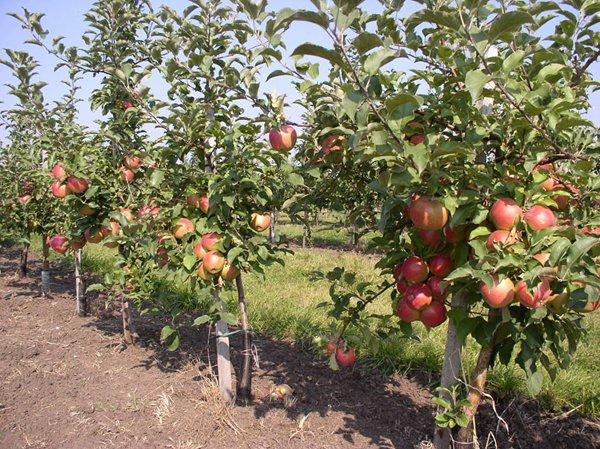Компактность расположения карликовых яблонь фото