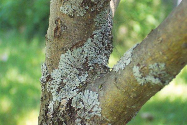 Ствол яблони заражен базидиальным грибом (молочным блеском) фото