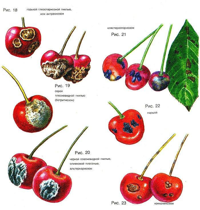 Монилиоз вишни: как лечить болезнь