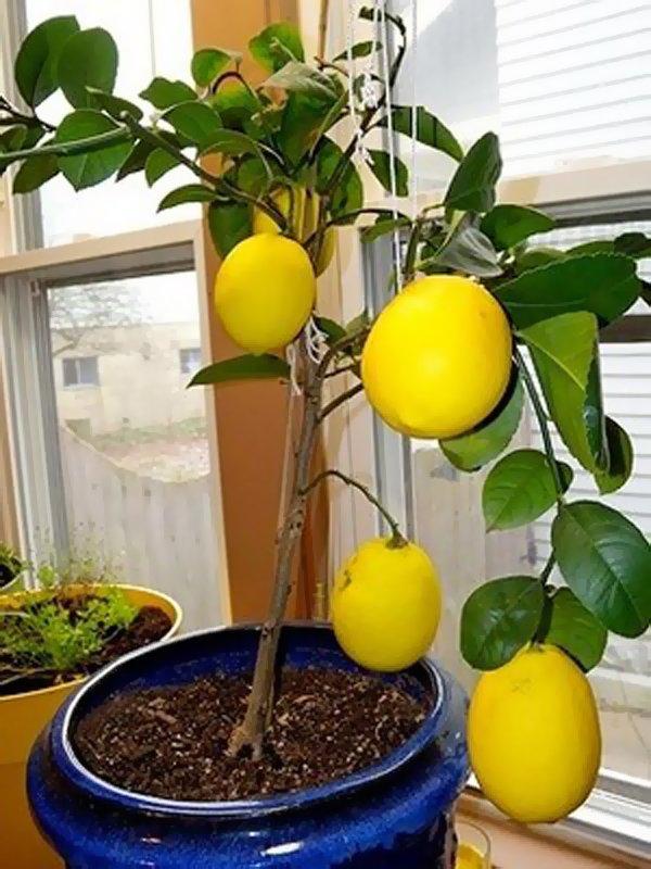 Лимонное дерево сорта Дженоа фото