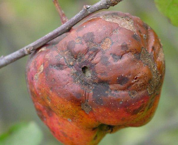 Яблоко, пораженное монилиозом фото
