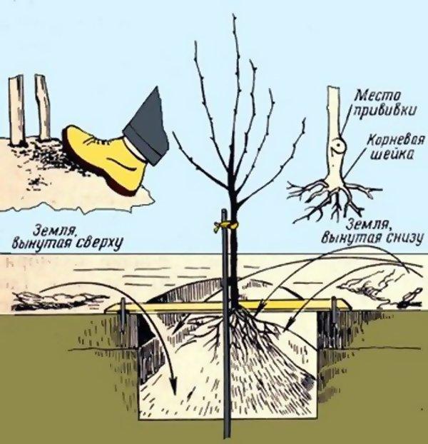 Как посадить карликовую яблоню фото