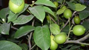 лимон куст