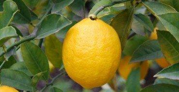 лимон плод