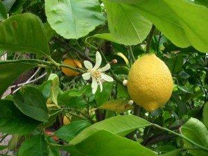 лимон цветки