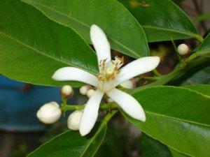лимон Лунарио цветки фото
