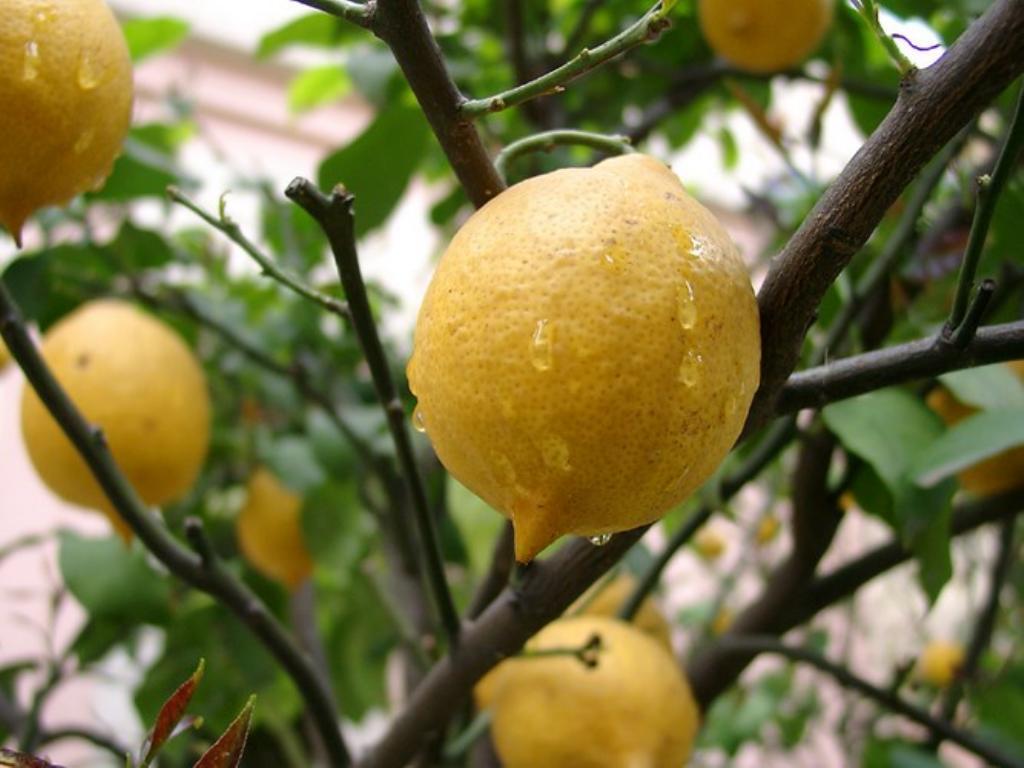 Лимон павловский уход в домашних условиях — Цветы365