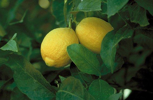 Плоды лимона сорта Лисбон фото