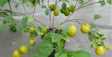 новогрузинский лимон