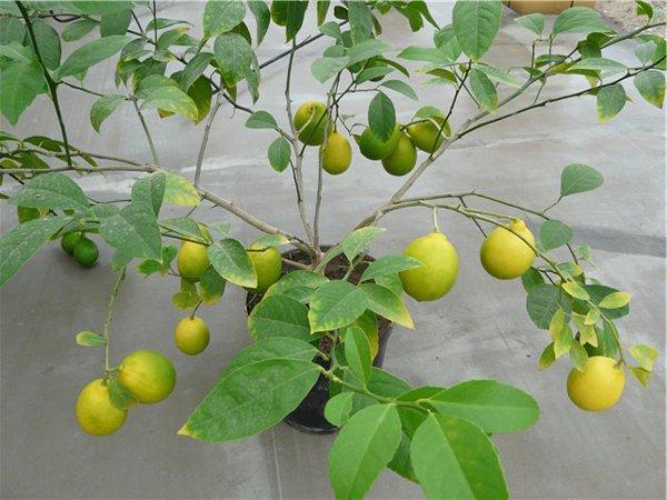 Лимонное дерево сорта Новогрузинский фото