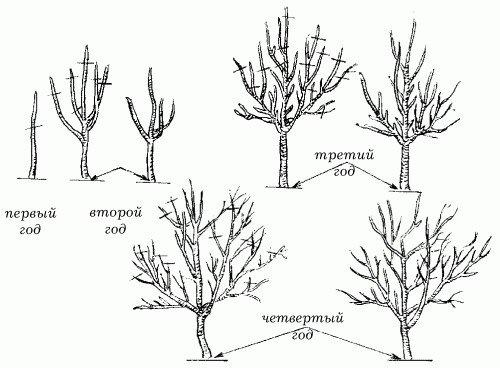 Схема обрезки плодового дерева по годам