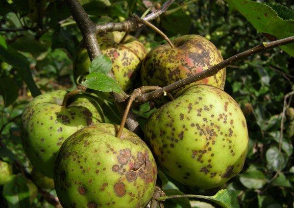 Плоды яблони, пораженные паршой фото