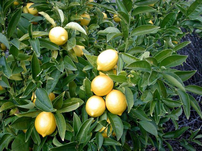 плоды лимона
