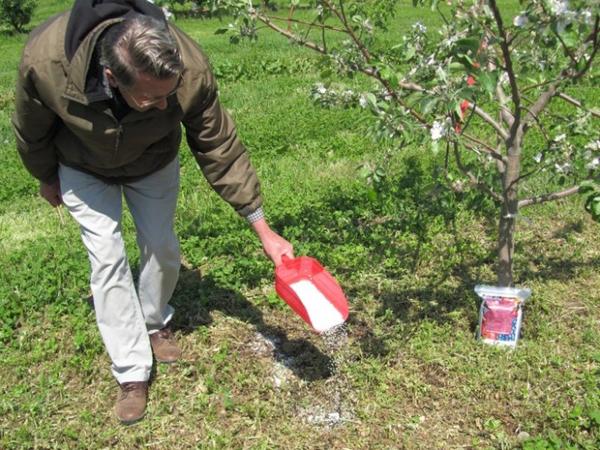 Весенняя подкормка яблони минеральными удобрениями фото