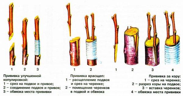 Способы прививки вишни фото