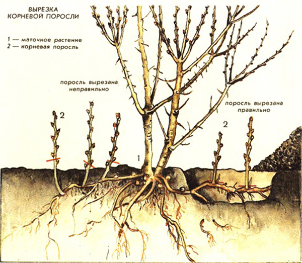 Способы вырезки корневой поросли вишни фото