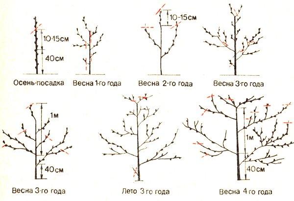Схема формирования кроны персикового дерева фото
