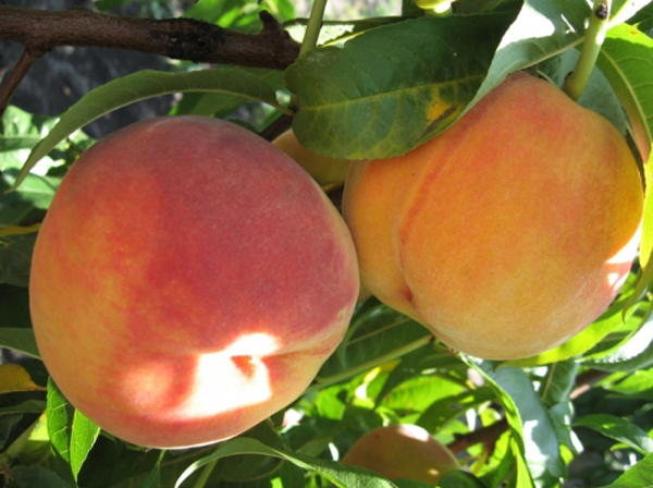 Плоды сорта персика редхейвен фото