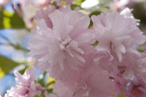 сакура цветки