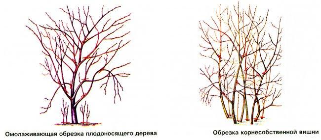 схема обрезки вишни фото