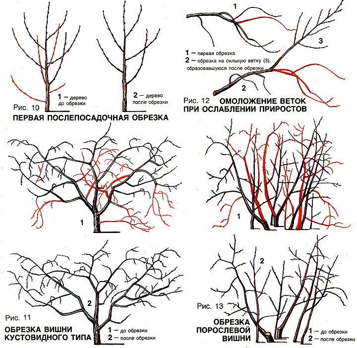 Схема обрезки растения